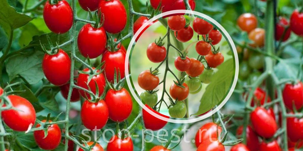 Использование стимуляторов плодообразования для растений защищённого грунта