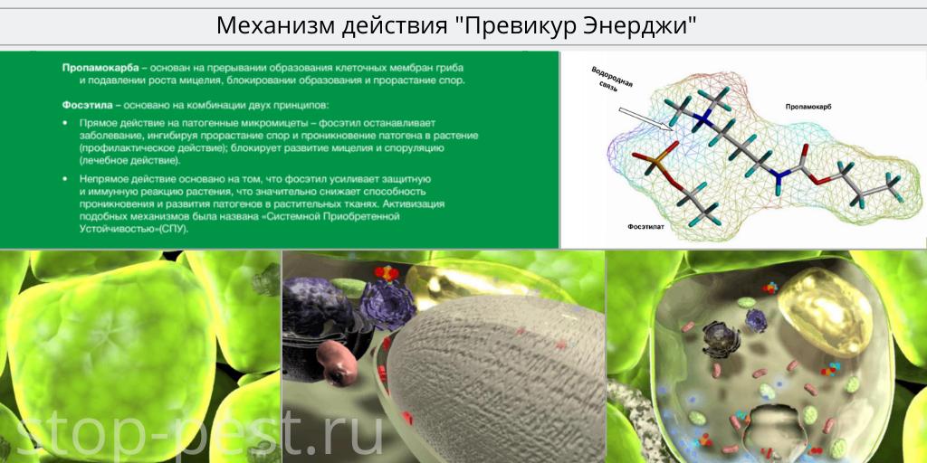 """Механизм действия фунгицида """"Превикур Энерджи"""""""
