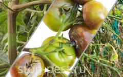 Фитофтороз томата - причины, симптомы и лечение