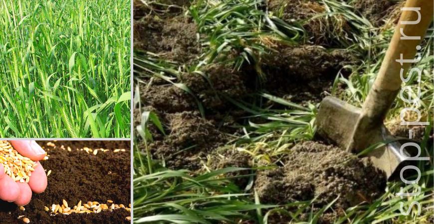 Посев и перекопка зерновых сидератов