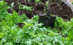 Сидераты - посев и перекопка (основы агротехники)