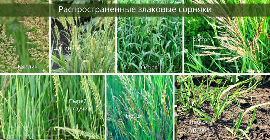 Распространенные злаковые сорняки